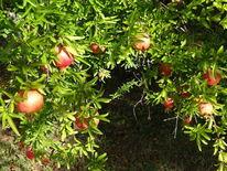 Lisle, Herbst 2019, Sur, Granatapfelbusch