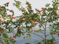 Hagebutte, Gewässer, Wildwachsende hagebutten, See