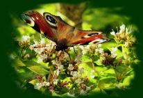 Pfauenauge, Schmetterling, Fliegen, Insekten