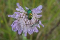 Insekten, Käfer, Nahaufnahme, Blumen