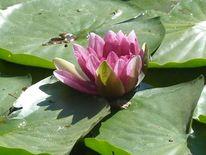 Weiher, Blätter, Seerosen, Teich