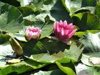 Rose, Blüte, Blätter, See