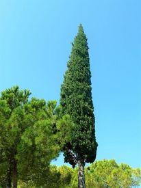 Zypresse, Italien, Sommer, Baum