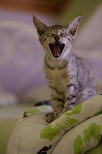 Wild, Morgengrauen, Katze, Gähnen