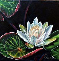 Weiße seerose, Seerosen, Seerosenblüte, Nymphaea
