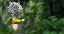 Webervogel, Nest, Afrika, Natur