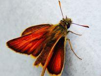 Paradies, Makrofotografie, Paradies in fotografieren, Schmetterling