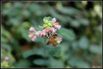 Blüte, Pflanzen, Biene, Fotografie