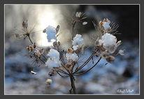 Sräucher, Eis, Winter, Fotografie