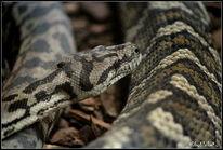 Reptilium, Schlange, Fotografie, Tiere