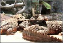Zoo, Fotografie, Reptilium, Krokodil