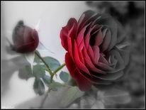 Liebe, Geburtstag, Valentinstag, Rose