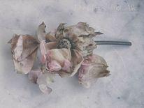 Rosenblüte, Tageslichtfotografie, Alter, Wechsel