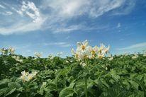 Sommer, Landwirtschaft, Pflanzen, Kartoffeln