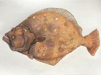 Plattfisch, Oll, Flunder, Zeichnungen