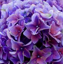 Pink, Fotografie, Blau, Hortensien
