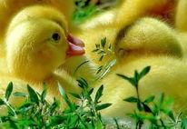 Huhn, Sommer, Natur, Sonne