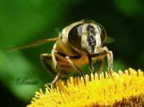 Schwebfliege, Insekten, Optik, Fliege