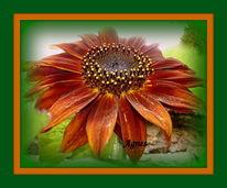 Sonnenblume braun, Fotografie