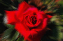 Rose, Blumen, Eisblume, Digitale kunst