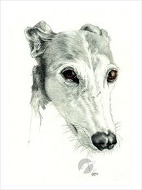 Galga, Windhund, Sighthound, Hundeportrait