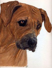 Hund, Portrait, Rhodesin ridgeback, Kopfstudie