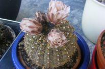 Kaktus, Blüte, Pinnwand,