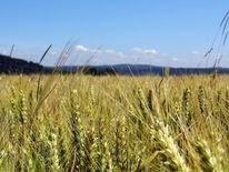 Getreide, Fotografie