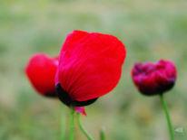 Mohnblumen, Blumen, Mohn, Fotografie