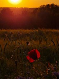 Feld, Mohn, Sonnenuntergang, Fotografie