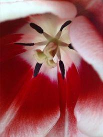 Tulpen, Nostalgie, Fotografie, Publikum