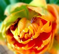 Abbild, Fotografie, Realität, Tulpen