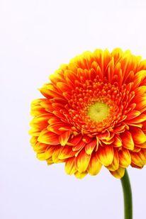 Blumen, Pflanzen, Gerbera, Fotografie