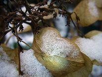 Schnee, Blätter, Hortensien, Fotografie