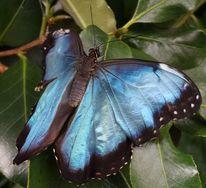 Morphonfalter, Schmetterling, Flügel, Fotografie