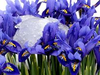 Gletscher, Blumen, Blau, Eis