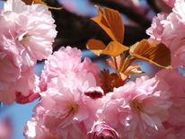 Blühen, Frühling, Rosa, Fotografie