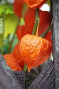 Orange, Lampionblume, Herbst, Fotografie