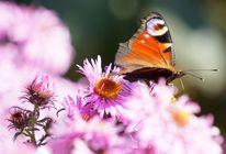 Rosa, Blüte, Herbstasternwolken, Tagpfauenauge