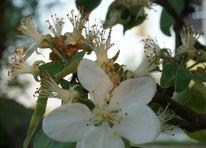 Apfel, Blüte, Fotografie, Licht