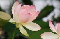 Aufblühen, Rosa, Lotos, Spiegelung
