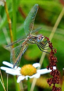 Sauerampfer, Blau grün, Libelle, Fotografie