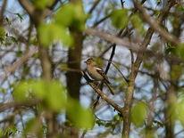 Singvogel, Baum, Frühling, Buchfinkweibchen