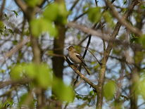 Frühling, Buchfinkweibchen, Chlorophyll, Singvogel