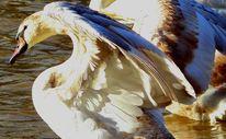 Flügel, Schwan, Fotografie