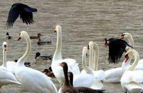 Flügel, Schwan, Ente, Fotografie