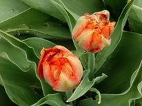 Tulpen, Frühling, Rot, Fotografie