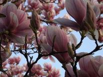 Rosa, Magnolien, Frühling, Blühen