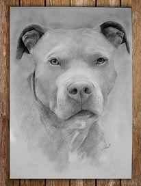 Hund, Tiere, Staffordshire, Portrait