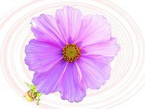 Rosa, Freistellen, Blüte, Makro